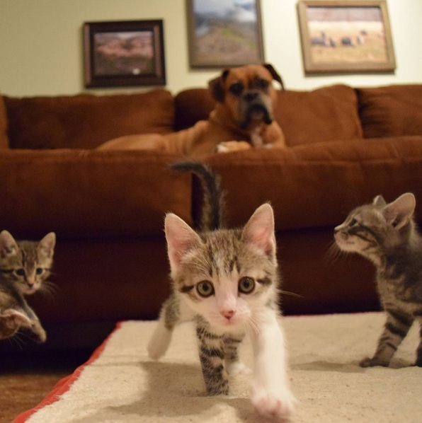 foster kittens and their cute mom  14 pictures 5