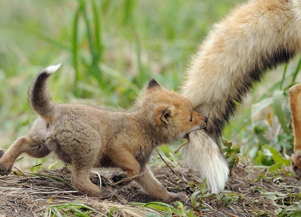foxes and their babies furry and adorable 13 pictures 10
