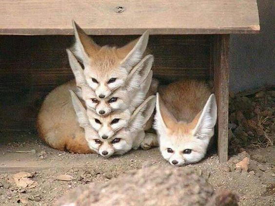 Fennec Fox Pet National Geographic