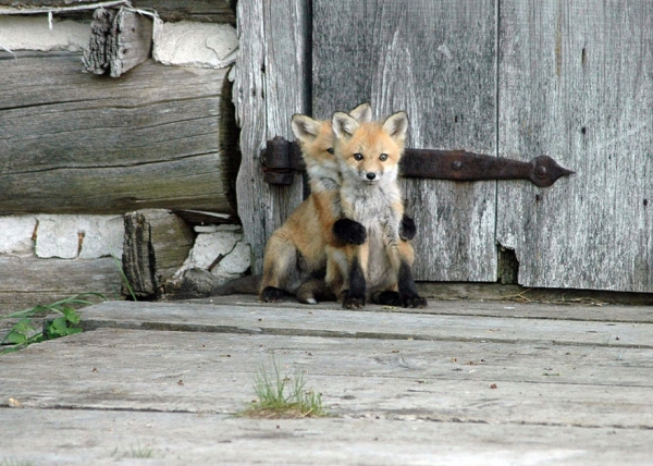foxes and their babies furry and adorable 13 pictures 8