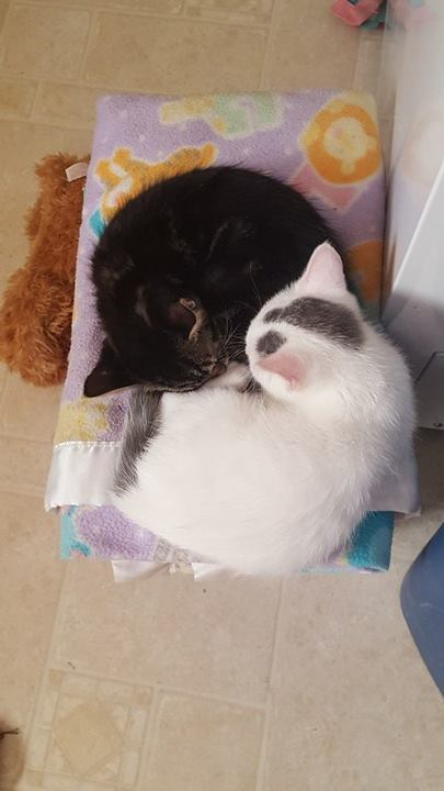 Author: Tasha Wells-Chacon, Description: Black and white kitties laying together and hugging as true friends.