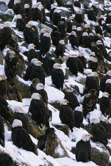 from endangered specie to flourishing population story of symbol of freedom 10 pictures 10