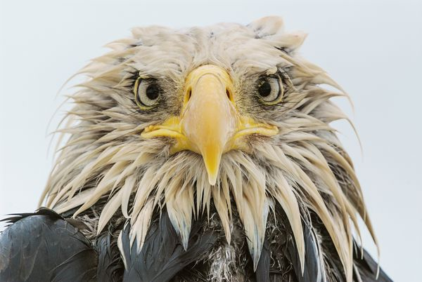 from endangered specie to flourishing population story of symbol of freedom 10 pictures 2
