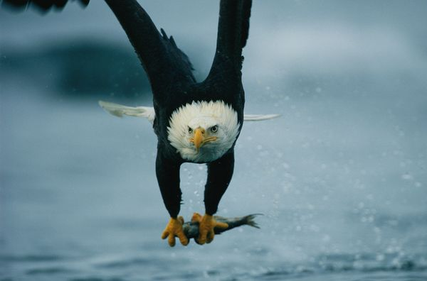 from endangered specie to flourishing population story of symbol of freedom 10 pictures 3