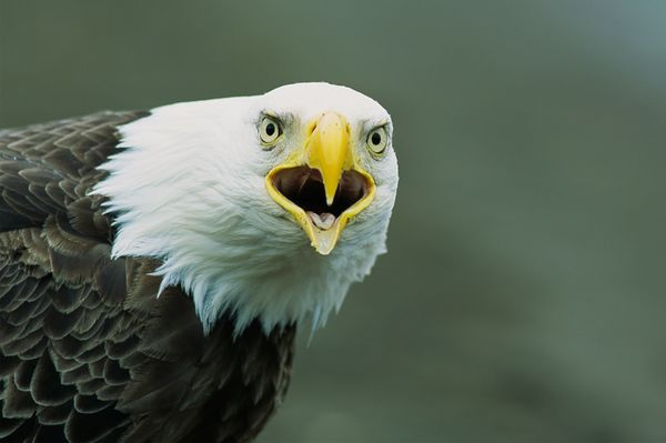 from endangered specie to flourishing population story of symbol of freedom 10 pictures 4