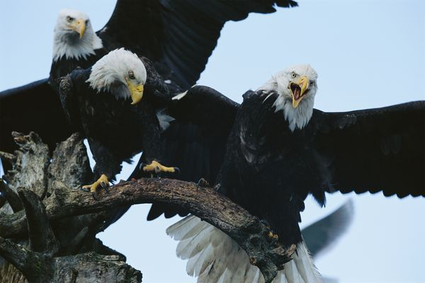 from endangered specie to flourishing population story of symbol of freedom 10 pictures 6