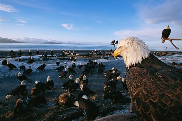 from endangered specie to flourishing population story of symbol of freedom 10 pictures 7