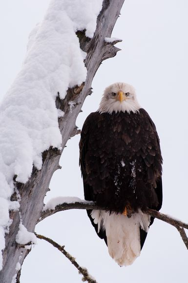 from endangered specie to flourishing population story of symbol of freedom 10 pictures 8
