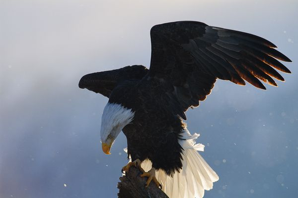 from endangered specie to flourishing population story of symbol of freedom 10 pictures 9