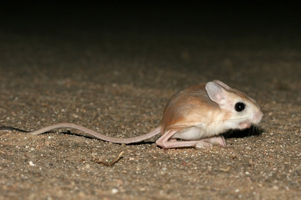 gobi jerboa unique and so sweet 10 pictures 1