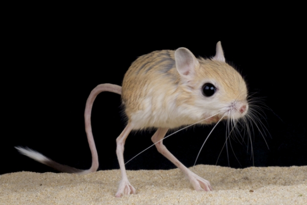 gobi jerboa unique and so sweet 10 pictures 2