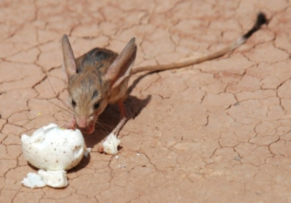 gobi jerboa unique and so sweet 10 pictures 4