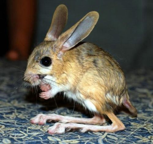 gobi jerboa unique and so sweet 10 pictures 8