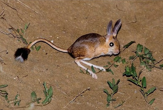 gobi jerboa unique and so sweet 10 pictures 9