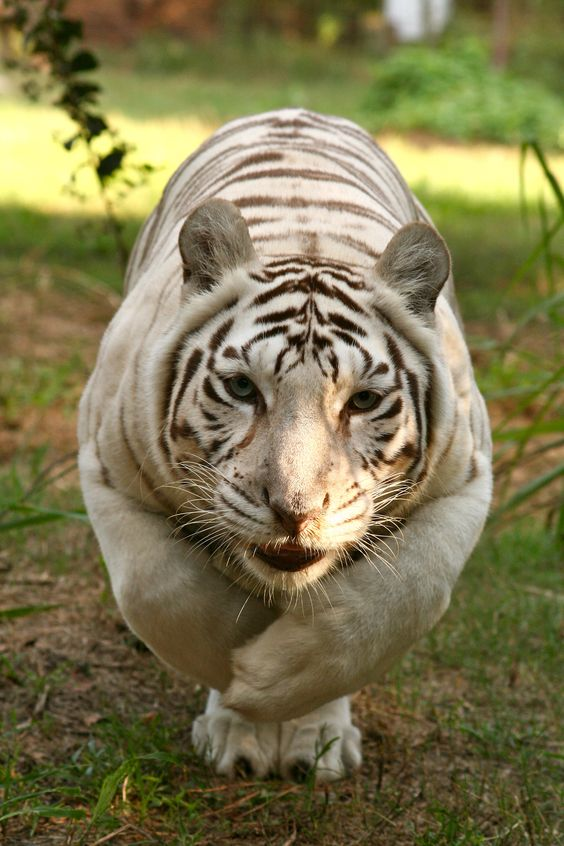 greatest love story between a white tigress and a lion 7 pictures 2