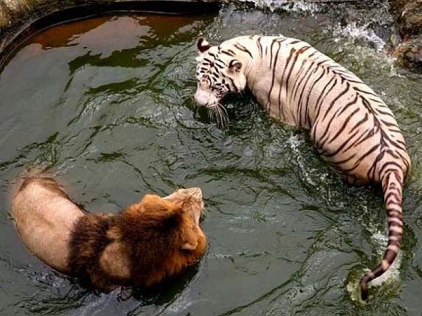Greatest Love Story Between a White Tigress and a Lion - 7 ...