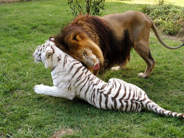 greatest love story between a white tigress and a lion 7 pictures 6