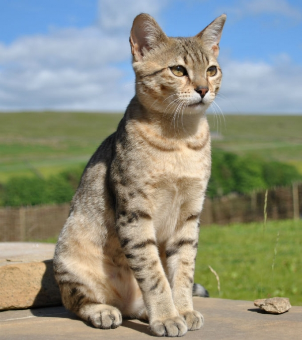 history of cats how did cats become our pets 13 pictures 8