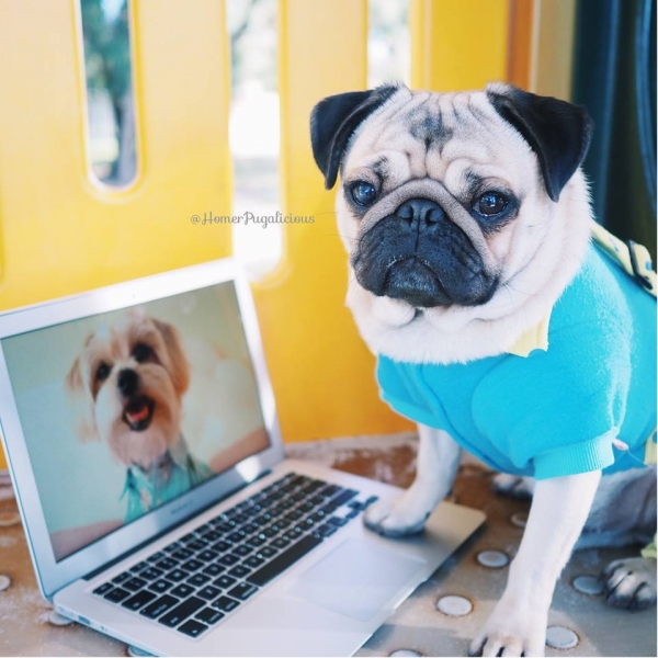 homer pugalicious is taking internet by storm 13 pictures 8
