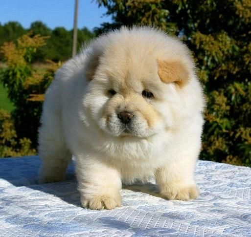 Fantastic Chinese Chubby Adorable Dog - how-chow-might-be-the-cutest-dog-breed-9-pictures-1  Best Photo Reference_109638  .jpg