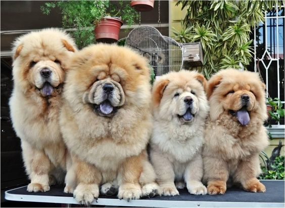 Great Chinese Chubby Adorable Dog - how-chow-might-be-the-cutest-dog-breed-9-pictures-2  Trends_694913  .jpg