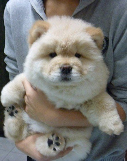 Popular Grey Chubby Adorable Dog - how-chow-might-be-the-cutest-dog-breed-9-pictures-3  Snapshot_249817  .jpg