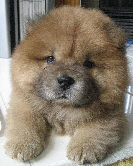 how chow might be the cutest dog breed 9 pictures 5