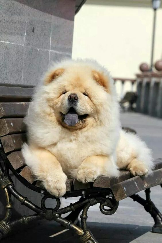 how chow might be the cutest dog breed 9 pictures 6