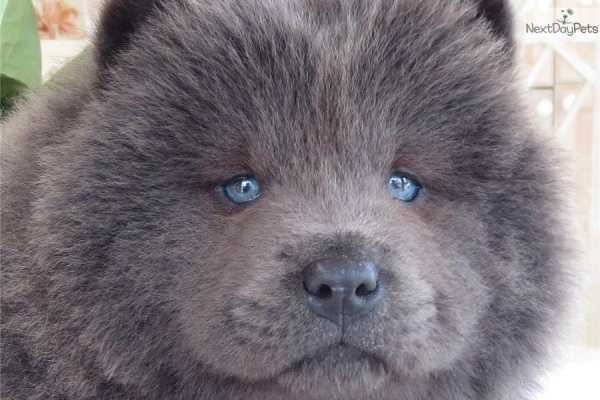 Best Chinese Chubby Adorable Dog - how-chow-might-be-the-cutest-dog-breed-9-pictures-7  Gallery_164817  .jpg