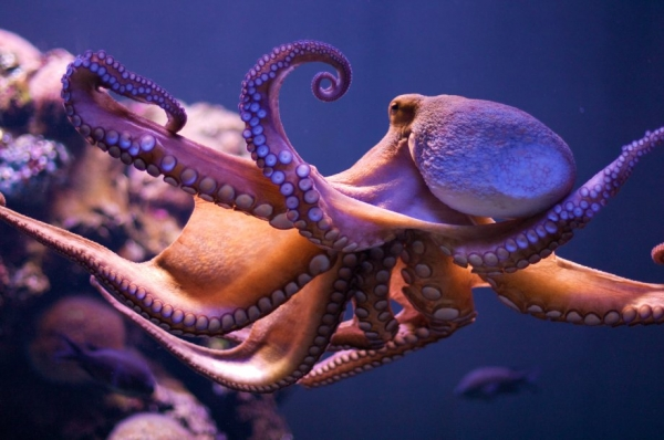 how much do you know about the octopus 8 interesting facts 2
