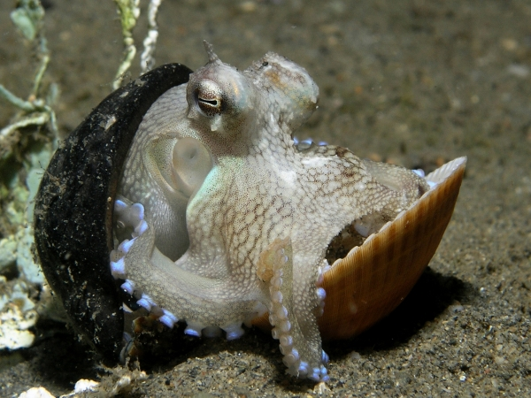 how much do you know about the octopus 8 interesting facts 7