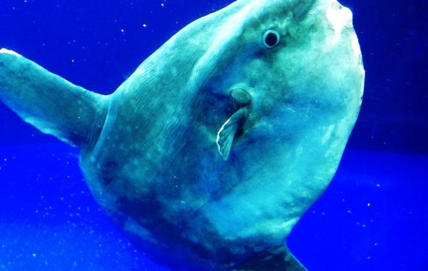 incredible journey to find the mysterious sunfish species 9 pictures 1 video 3