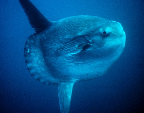incredible journey to find the mysterious sunfish species 9 pictures 1 video 6