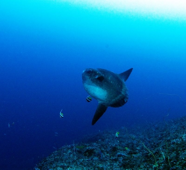 incredible journey to find the mysterious sunfish species 9 pictures 1 video 7