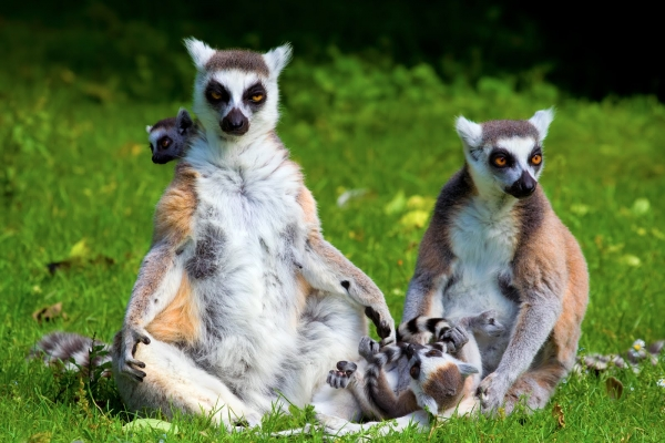introduction to the world of lemurs 11 pictures 3
