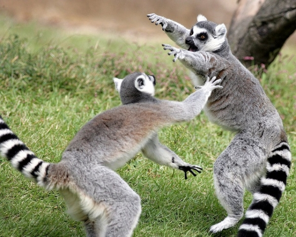 introduction to the world of lemurs 11 pictures 9