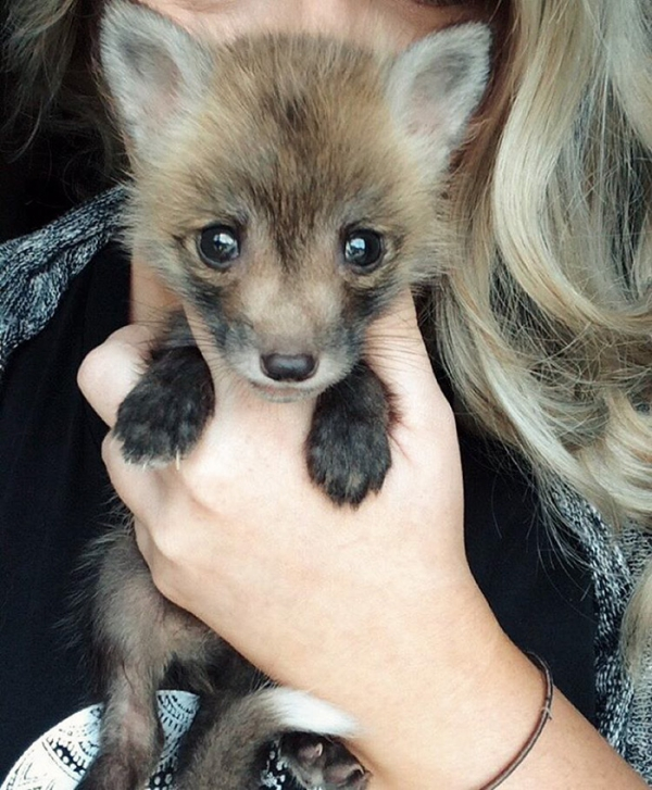juniper is the most adorable fox 13 pictures 1
