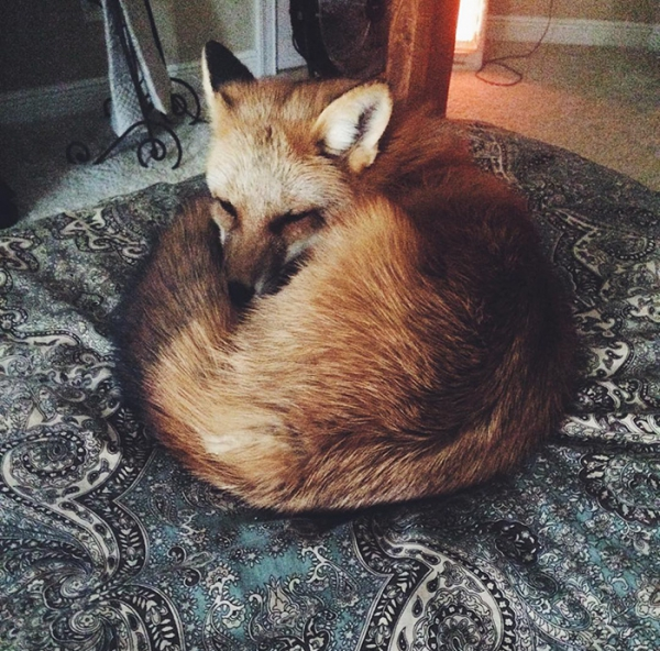 juniper is the most adorable fox 13 pictures 11