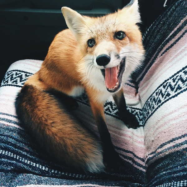 juniper is the most adorable fox 13 pictures 12