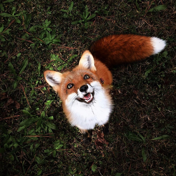 juniper is the most adorable fox 13 pictures 4