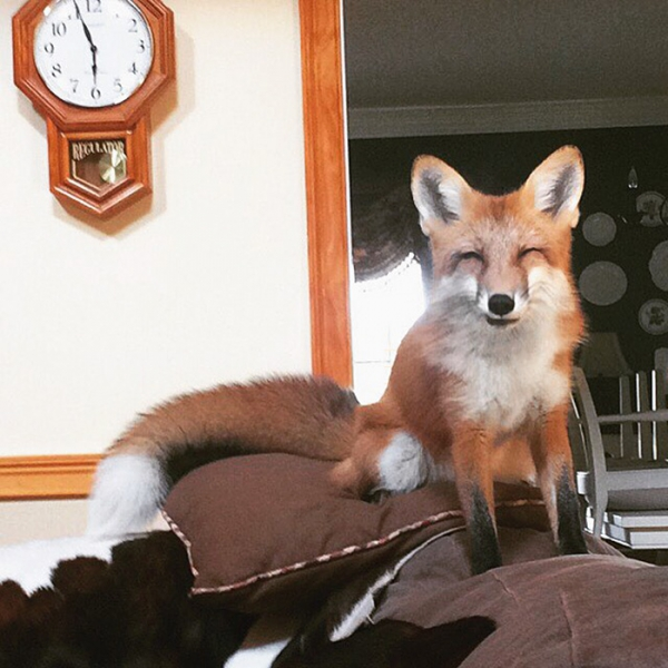 juniper is the most adorable fox 13 pictures 5