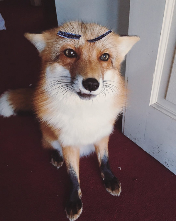 juniper is the most adorable fox 13 pictures 8