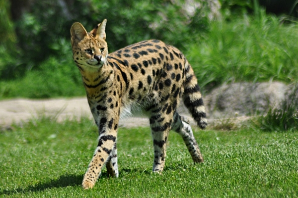 just an adorable cat breed or a dangerous predator 11 pictures 2