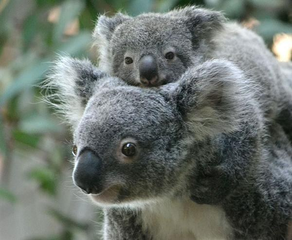 koala walks into your house whats your first move 6 pictures video 1