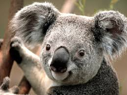 koala walks into your house whats your first move 6 pictures video 2