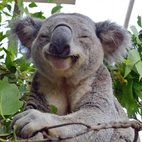 koala walks into your house whats your first move 6 pictures video 5