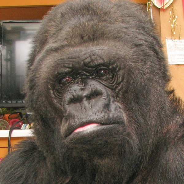 koko the gorilla who mourns the passing of robert williams 3