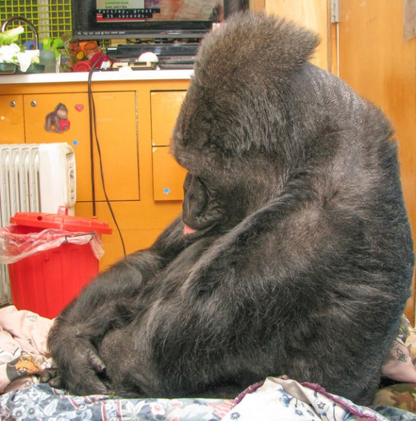 koko the gorilla who mourns the passing of robert williams 4