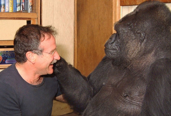 koko the gorilla who mourns the passing of robert williams 9
