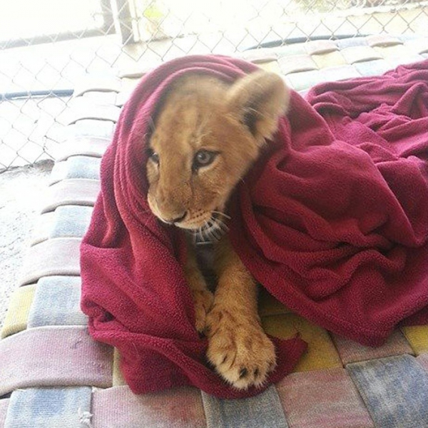 lambert the adopted lion loves his blanket 7 pictures 1 video 1